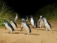 ペンギンエクスプレス・メルボルン発・AUSTRALIAN TOURLINK [日本語ガイド付]