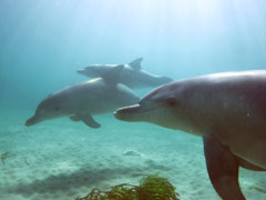 ロッキンハムで野生のイルカと泳ぐツアー・Rockingham Dolphins[パース発]