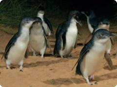フィリップアイランド・ペンギンパレード・Autopia Tours[メルボルン発]