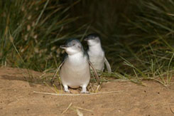 フィリップ島・ペンギンパレード・1日エコツアー・Bunyip Tours[メルボルン発]