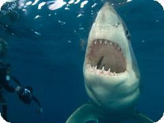 ロドニー・フォックス主催ホホジロサメ・ツアー(南オーストラリア・ポートリンカーン発)