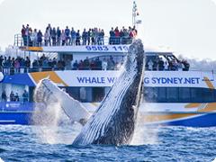 選べる半日英語クジラウォッチングクルーズ・シドニー