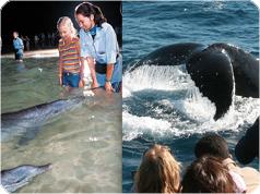 モートン島観光 タンガルーマ野生イルカに餌づけと期間限定ホエールウオッチング!VIPラウンジ利用[ゴールドコースト発]
