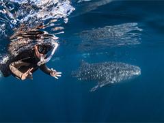 エクスマウス発 ジンベイザメと泳ぐエコ・ツアー