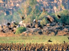カカドゥ固有の鳥たち
