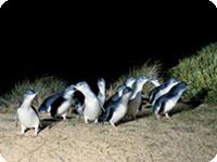 フィリップ島・ペンギンパレード・1日エコツアー・Bunyip Tours