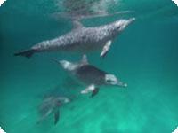 パースでドルフィンスイミング・ロッキンハムで野生のイルカと泳ぐツアー
