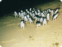フィリップ島ペンギンパレード